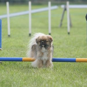 Zoe doing agility