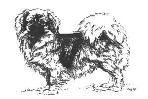 Tibetan Spaniel drawing